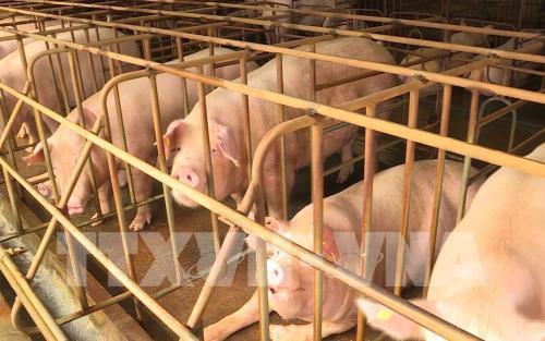 Hưng Yên hỗ trợ người chăn nuôi lợn bị dịch tả châu Phi - Ảnh 1.