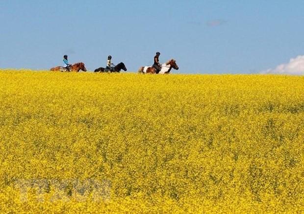 Canada mạnh tay giúp nông dân trong cuộc chiến cải dầu với Trung Quốc - Ảnh 1.