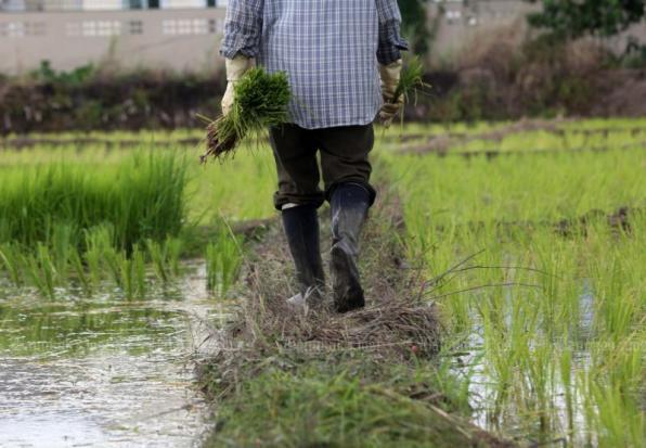 Triển vọng xuất khẩu gạo Thái Lan khởi sắc trong bối cảnh kinh tế toàn cầu suy thoái - Ảnh 1.