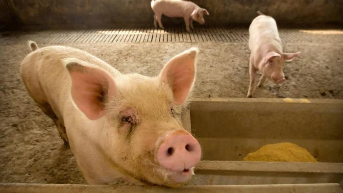 Xuất khẩu thịt heo Anh sang Đông Á tăng mạnh vì dịch ASF - Ảnh 1.