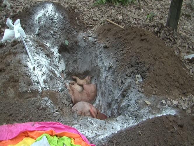 Đã phát hiện 14 ổ dịch tả lợn Châu Phi ở Bình Phước - Ảnh 2.