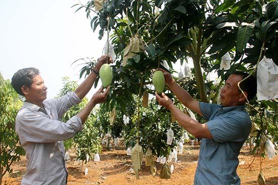 Sơn La dự kiến thu về 2,5 triệu USD từ xuất khẩu xoài - Ảnh 1.