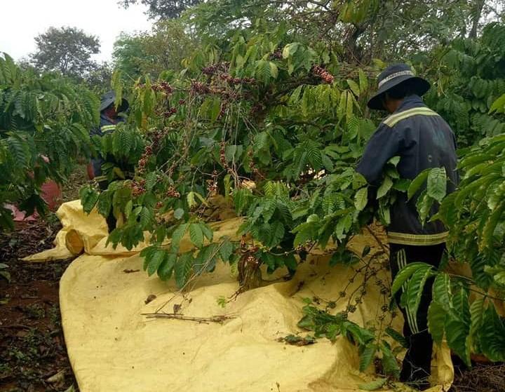 Mã số vùng trồng nâng cao thông tin truy xuất cho cà phê - Ảnh 1.