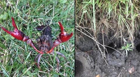Nhiều nơi trên thế giới từng hối hận vì thảm họa nuôi tôm hùm đất - Ảnh 1.