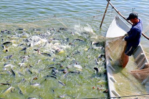 Giá cá tra giảm 6.000 đồng/kg trong 5 tháng qua - Ảnh 1.