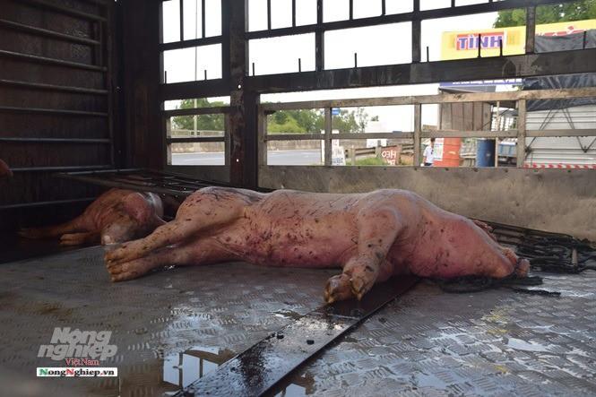 Phát hiện xe chở lợn rắc dịch tả lợn Châu Phi - Ảnh 1.