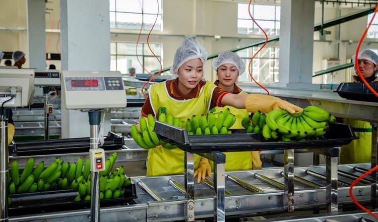 Chuối Campuchia được phép xuất khẩu trực tiếp sang Trung Quốc - Ảnh 1.
