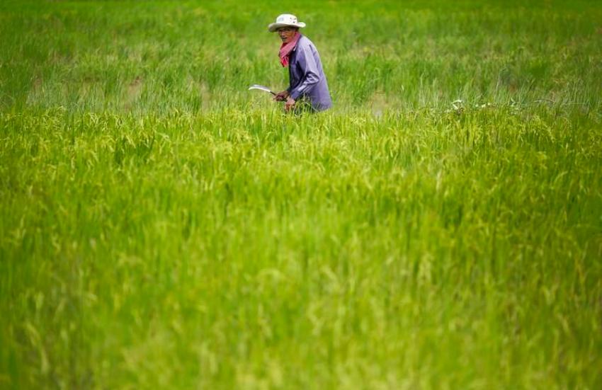 Xuất khẩu gạo Campuchia sang Trung Quốc tăng mạnh sau thuế quan của EU - Ảnh 1.