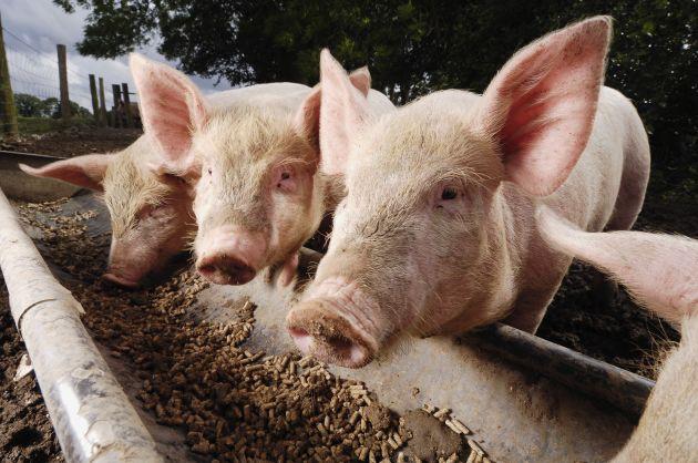Sử dụng thức ăn chăn nuôi Trung Quốc tại Mỹ làm tăng rủi ro lây dịch tả heo châu Phi - Ảnh 1.