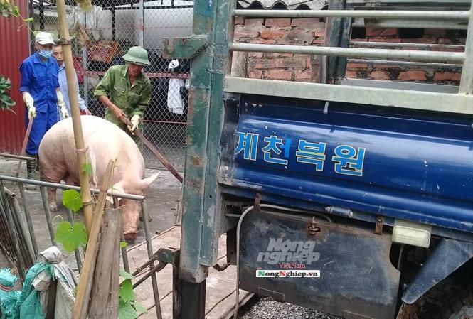 Hải Dương: Xã ký giấy xác nhận bán lợn xuyên vùng dịch - Ảnh 3.