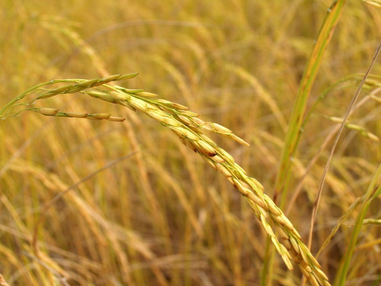 Colombia có thể mất 60% diện tích đất trồng lúa vào những năm 2050 vì biến đổi khí hậu - Ảnh 1.
