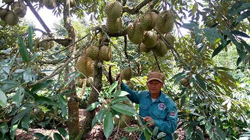 Đắk Lắk: Doanh thu từ cây ăn quả lên tới hàng nghìn tỷ đồng - Ảnh 1.