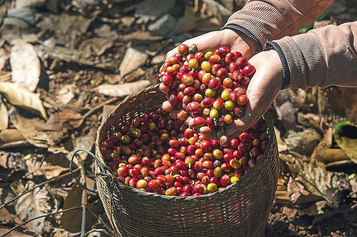 Laos-bolaven-plateau-kaffeebohnen-plantage-293b347fc1