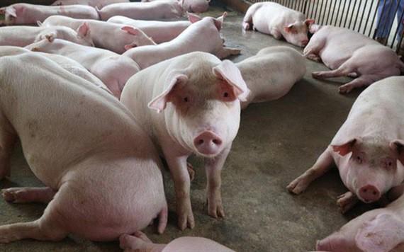 Cục trưởng Chăn nuôi: Giá lợn hơi sẽ chạm mốc 45.000 đồng/kg - Ảnh 2.