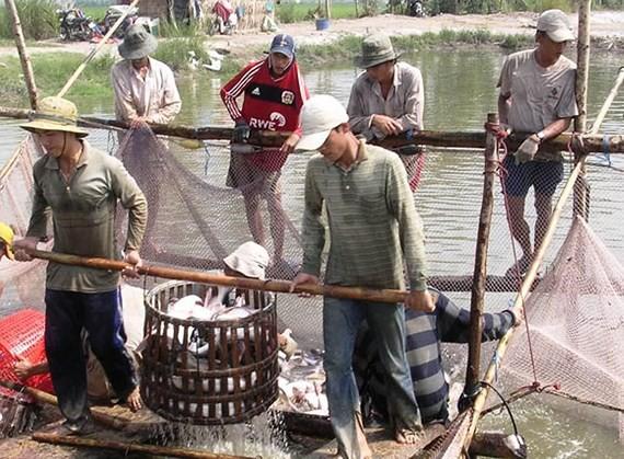 Cá tra giảm mạnh, người nuôi ở ĐBSCL lỗ nặng - Ảnh 1.