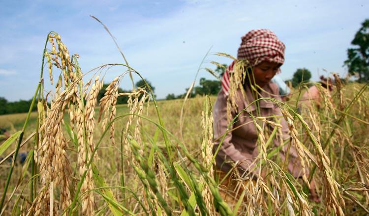 Thủ tÆ°á»ng Campuchia kêu gá»i nông dân ngừng sá» dụng hóa há»c trong trá»ng lúa - Ảnh 1.