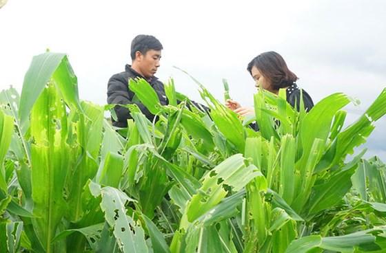 15.000 ha bắp bị sâu keo mùa thu phá hoại - Ảnh 1.