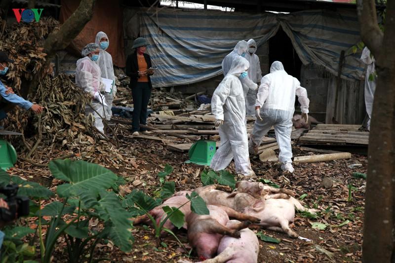 Lai Châu ban bố công điện khẩn vì dịch tả lợn Châu Phi - Ảnh 1.