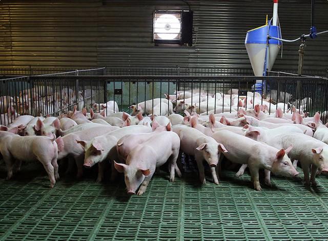 Trên 542.000 con lợn được nhập về tiêu thụ tại Hà Nội - Ảnh 1.