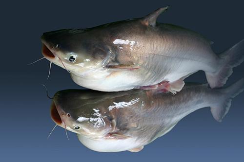 Giá cá tra giống và nguyên liệu giảm mạnh - Ảnh 1.