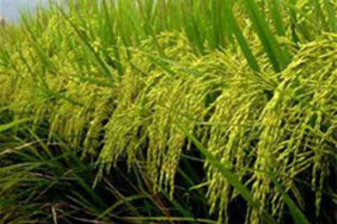 Thái Lan sắp thực hiện chương trình đảm bảo giá lúa gạo cho nông dân - Ảnh 1.