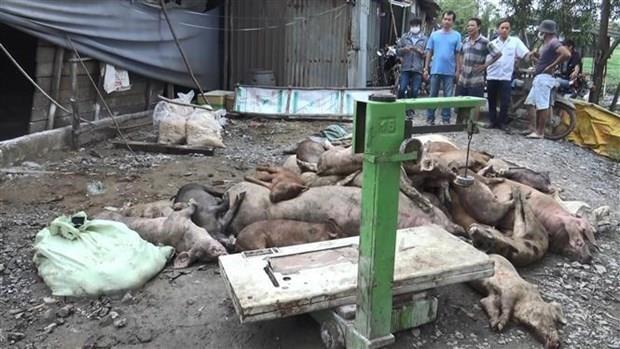 Dịch tả lợn châu Phi: Để các trang trại phát hiện ổ dịch là quá muộn - Ảnh 1.