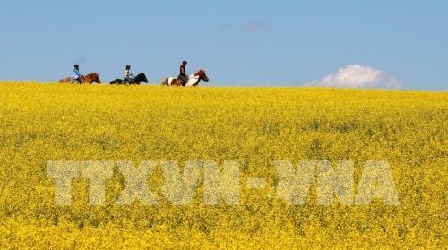 """Châu Âu hạn hán, hạt cải dầu của Canada """"có cửa"""" xuất khẩu - Ảnh 1."""