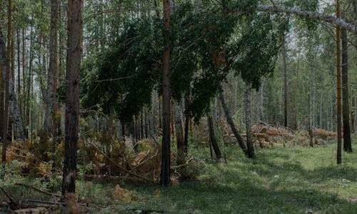 Những cánh rừng Nga oằn mình trước cơn khát gỗ của Trung Quốc - Ảnh 2.