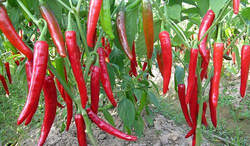 Tôm và ớt Việt vào Australia bị phát hiện chất cấm - Ảnh 1.
