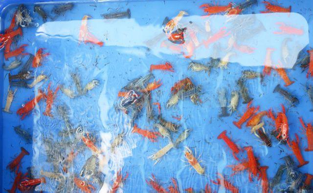 Long An: Phát hiện một cơ sở nuôi hơn 7.000 con tôm hùm đỏ - Ảnh 2.