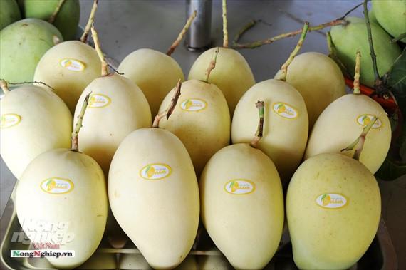 Liên kết trồng xoài xuất khẩu - Ảnh 15.