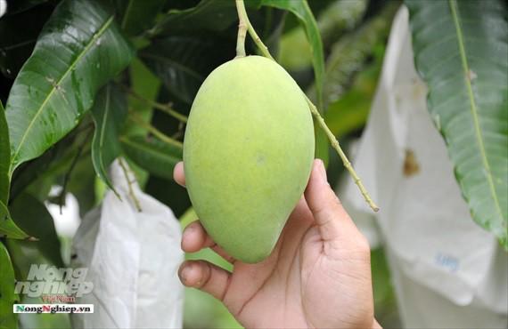 Liên kết trồng xoài xuất khẩu - Ảnh 5.