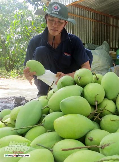 Liên kết trồng xoài xuất khẩu - Ảnh 7.