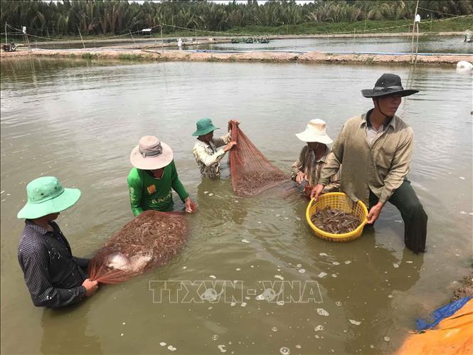 Giá tôm nguyên liệu tăng, người nuôi rục rịch thả nuôi mới - Ảnh 1.