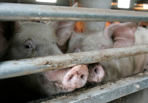 Trung Quốc cấm nhập heo Hàn Quốc do lo ngại bệnh tả heo châu Phi - Ảnh 1.