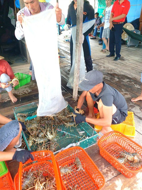 Nuôi và xuất khẩu tôm hùm buộc phải thay đổi: Người nuôi lẫn doanh nghiệp đều lúng túng - Ảnh 2.