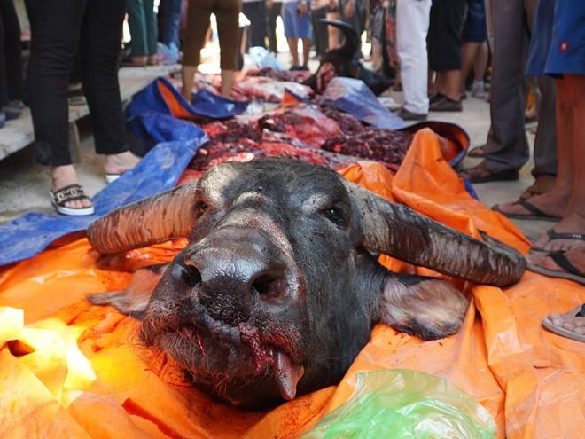 Hơn hai triệu đồng một kg thịt trâu chọi Đồ Sơn - Ảnh 5.