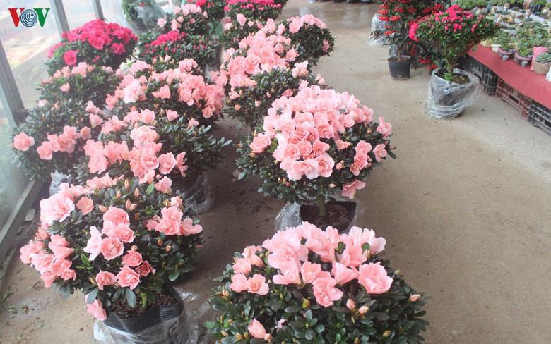 Những loại hoa, cây cảnh 'khuynh đảo' thị trường Tết Canh Tý 2020 - Ảnh 4.