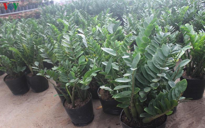 Những loại hoa, cây cảnh 'khuynh đảo' thị trường Tết Canh Tý 2020 - Ảnh 12.