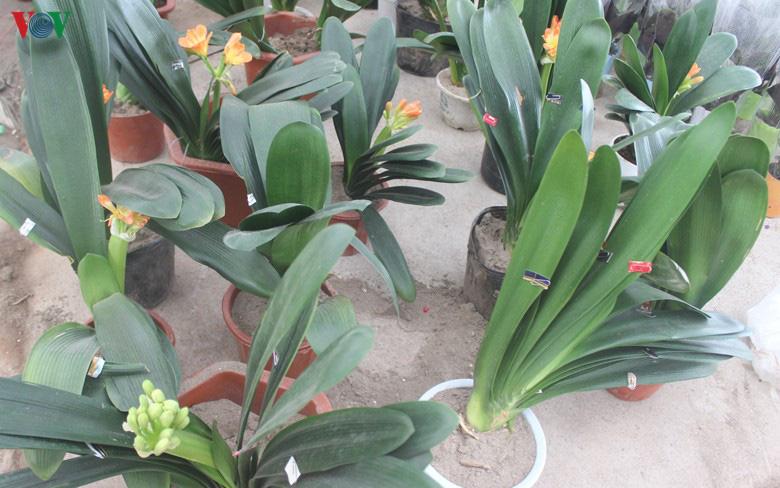 Những loại hoa, cây cảnh 'khuynh đảo' thị trường Tết Canh Tý 2020 - Ảnh 13.