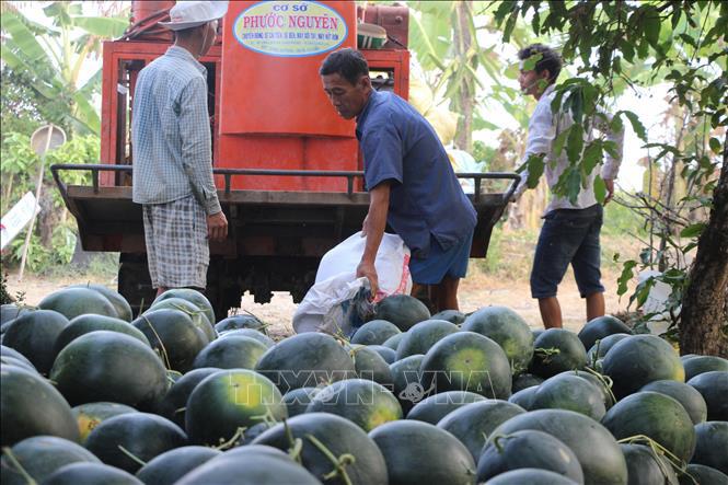 Nông dân Cà Mau trúng mùa, được giá vụ dưa hấu Tết - Ảnh 1.
