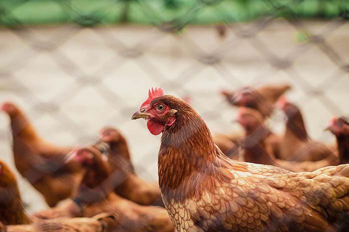 https://cdn.vietnambiz.vn/2020/2/12/chicken-avian-influenza-696x464-15815004360781952564363.jpg