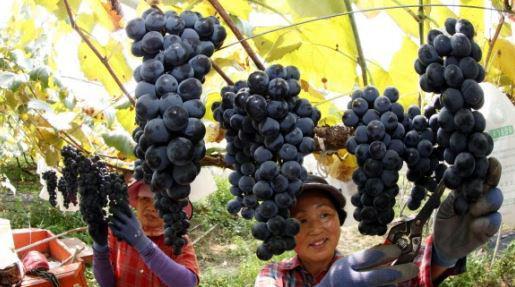 Việt Nam trở thành thị trường nhập khẩu nho lớn nhất của Hàn Quốc - Ảnh 1.