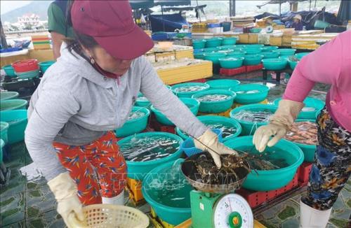 Giá tôm hùm tại Khánh Hòa tăng trở lại - Ảnh 1.
