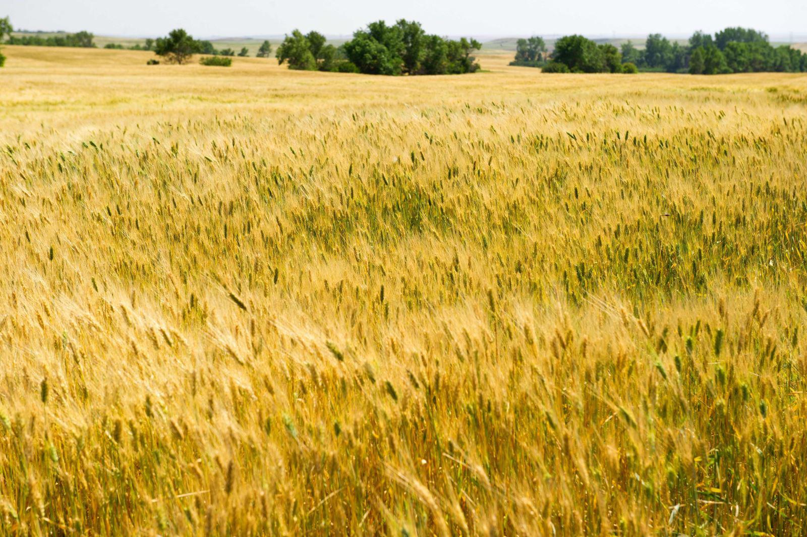 Dịch COVID-19: Nhiều nước dừng xuất khẩu lương thực, đe dọa nguồn cung toàn cầu - Ảnh 1.