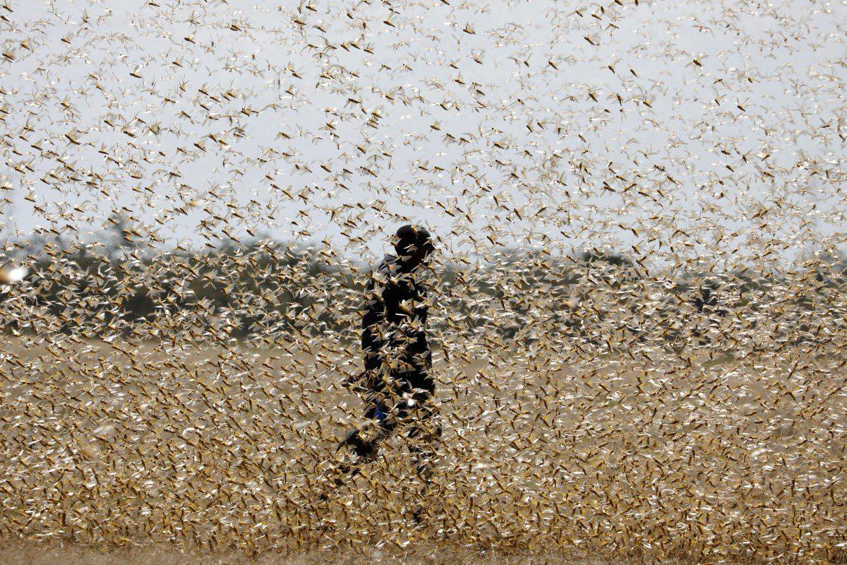 Liệu Trung Quốc có thể đối phó với nạn châu chấu trong khi phải chống chọi với virus corona? - Ảnh 1.