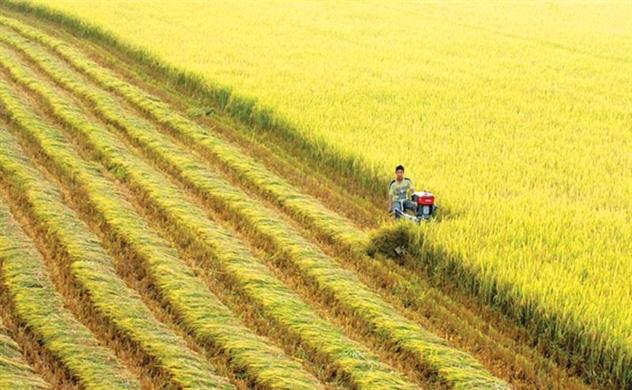 Bất chấp hạn mặn lịch sử, lúa gạo được mùa vượt kế hoạch - Ảnh 1.