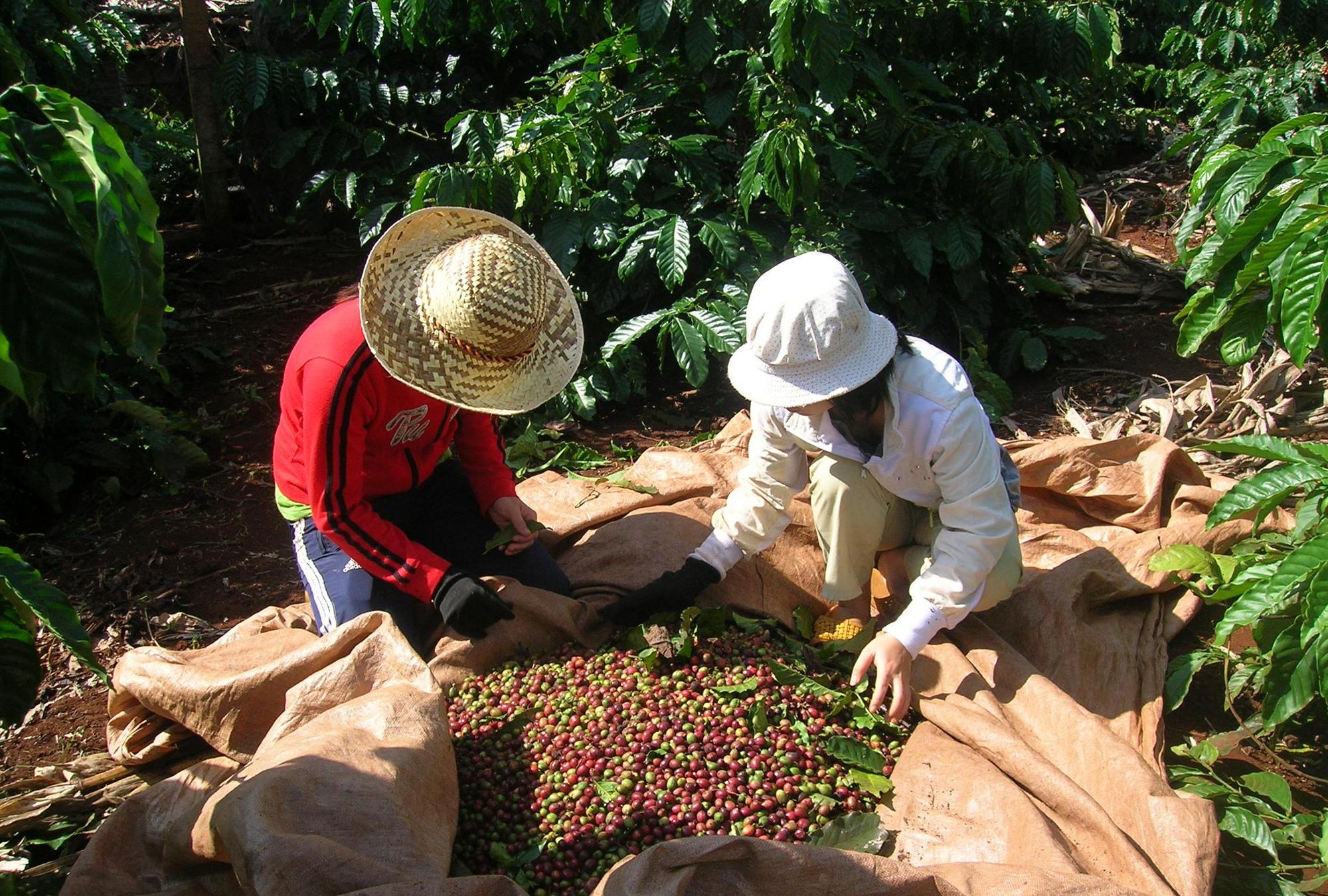 Ngành cà phê Việt Nam sẽ trỗi dậy mạnh mẽ nếu vượt qua thời kì khó khăn do COVID-19 - Ảnh 2.