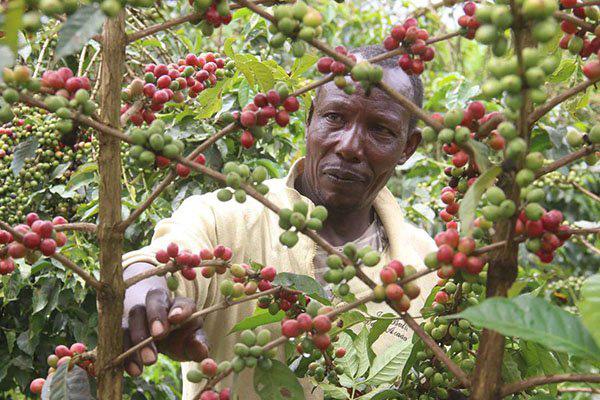 Cà phê bất chấp khóa cửa toàn cầu để tăng trưởng 52 tỷ Shs - Ảnh 1.