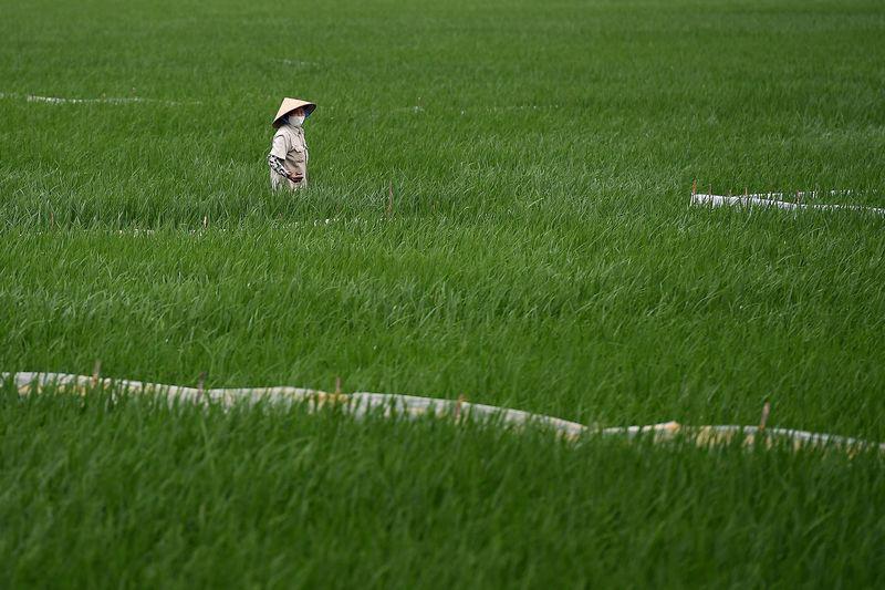 Bloomberg: Lo ngại về an ninh lương thực bắt đầu đe dọa hoạt động xuất khẩu gạo châu Á - Ảnh 1.
